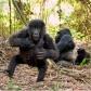 Gorilky