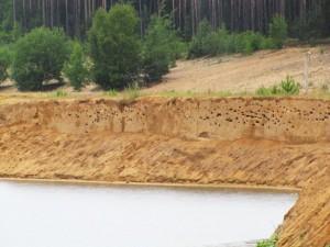 Břehule říční - kolonie v pískovně Cep I