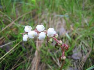 Květenství hruštičky menší