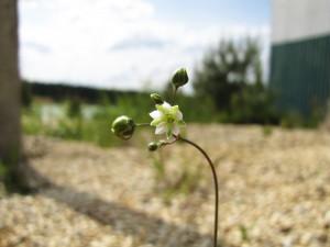 Pískomilné rostliny - kolenec Morisonův
