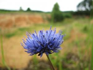 Pískomilné rostliny - pavinec horský