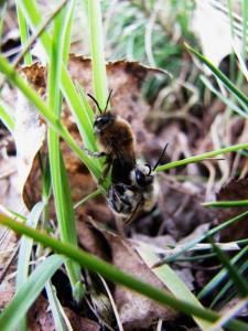 Samotářské včely - hedvábnice jarní