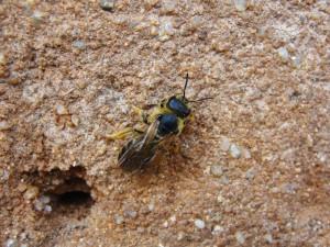 Samotářské včely - ploskočelka šestipásá