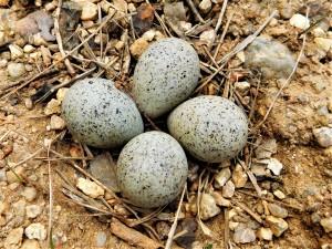 Hnízdo kulíka říčního