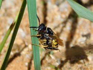květolib včelí s ulovenou včelou