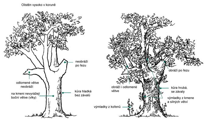 Výchovné řezy k tvorbě hlavatého stromu nebo jinak pravidelně